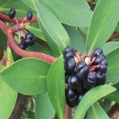 Pepperberry (100g)